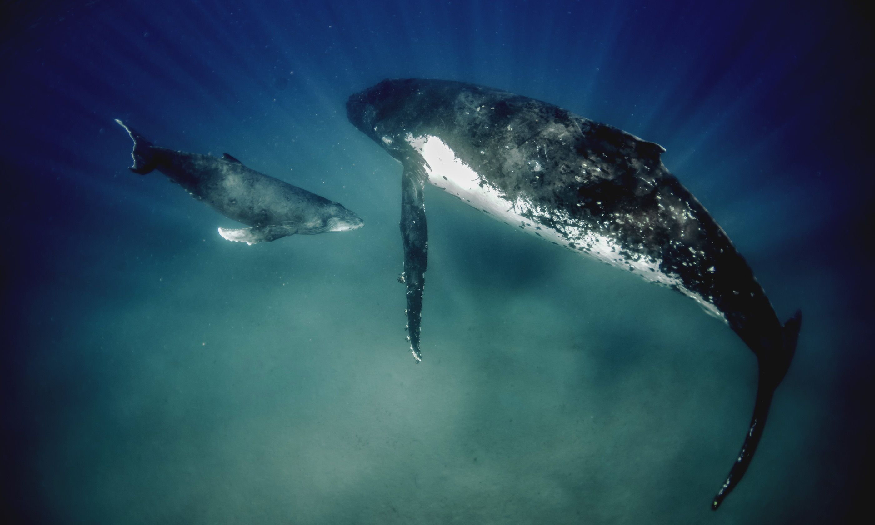 Humpbacks in shallow water in Vavau (Dreamstime)