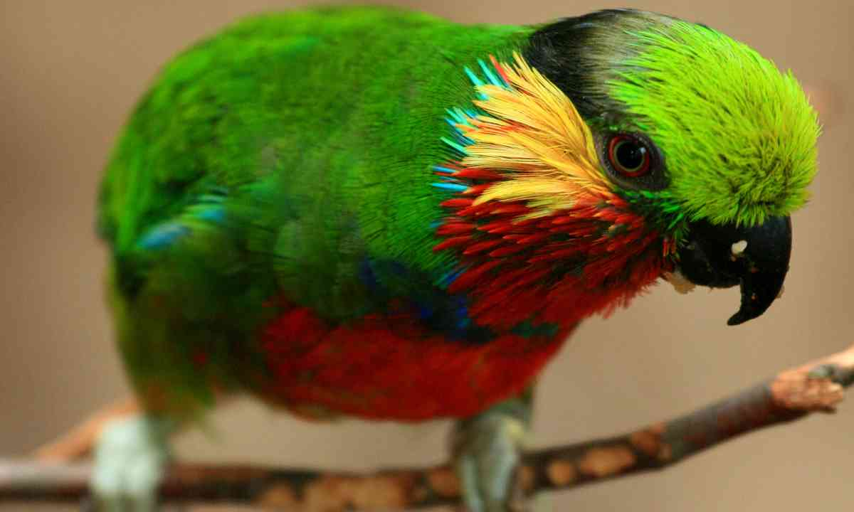 Edwards's Fig Parrot (Dreamstime)