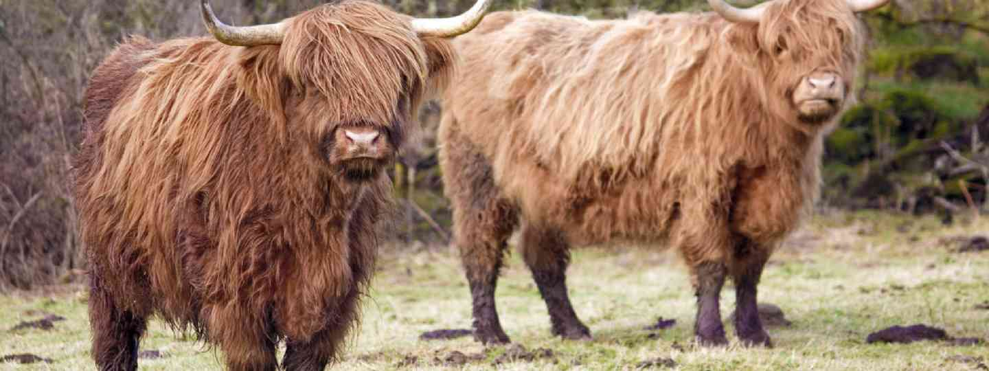 Highland cows (Shutterstock: see credit below)