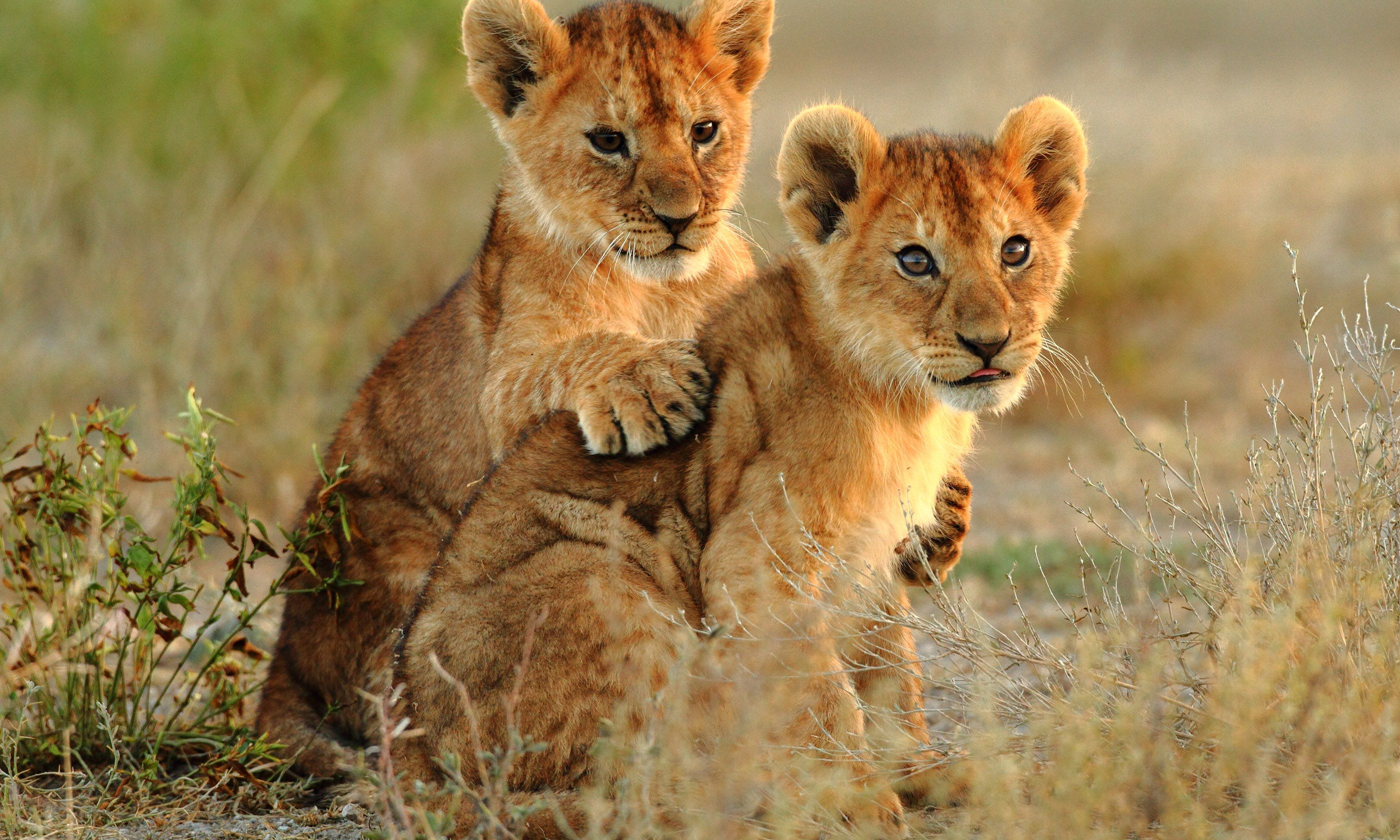 Lion cubs (Shutterstock)