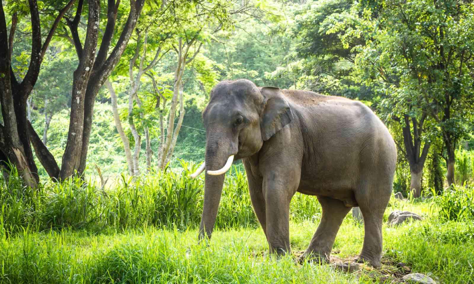 Mature bull elephant in Thailand (Shutterstock)