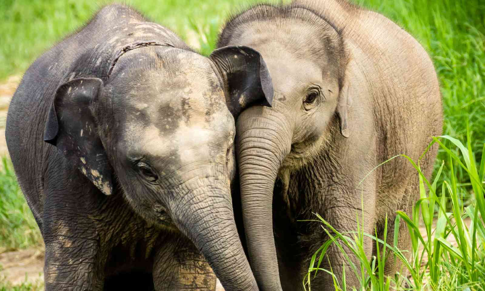 Two baby elephants, Thailand (Shutterstock)