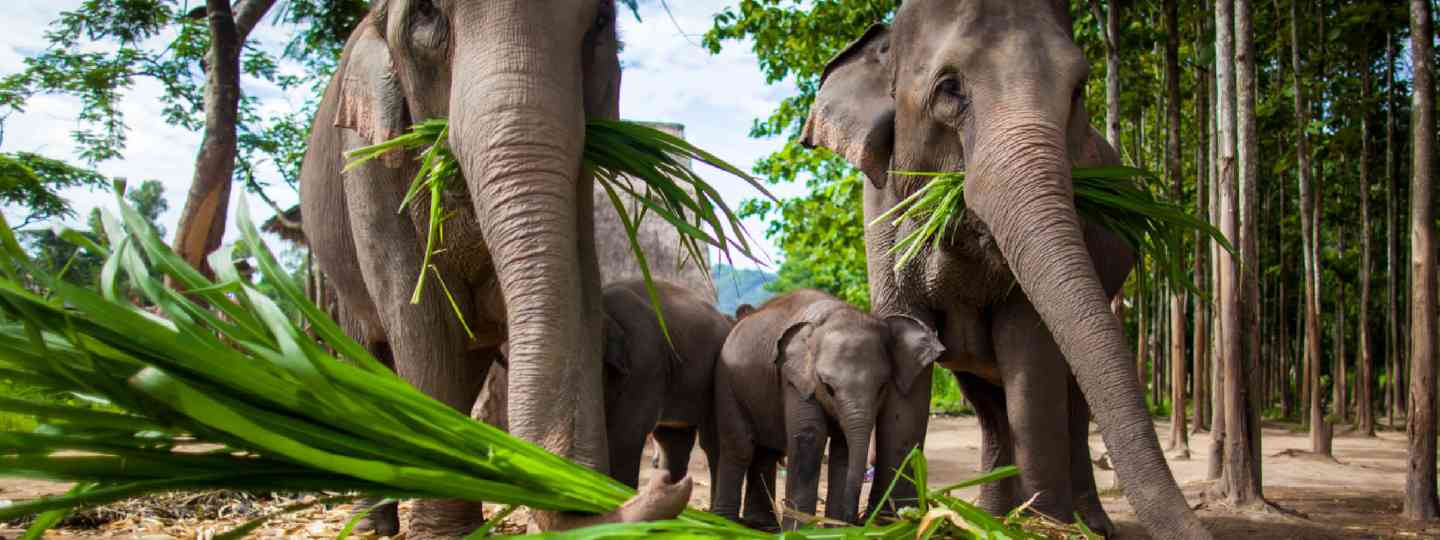 Elephants eating sugar cane, Thailand (Shutterstock: see credit below)