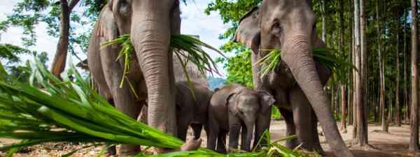 Elephants eating sugar cane, Thailand (Shutterstock: see credit below)