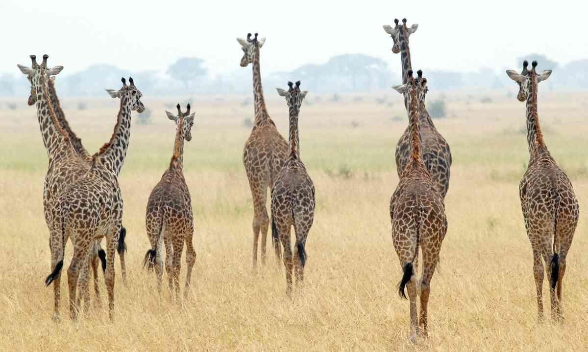 Giraffes in the Serengeti (Shutterstock)