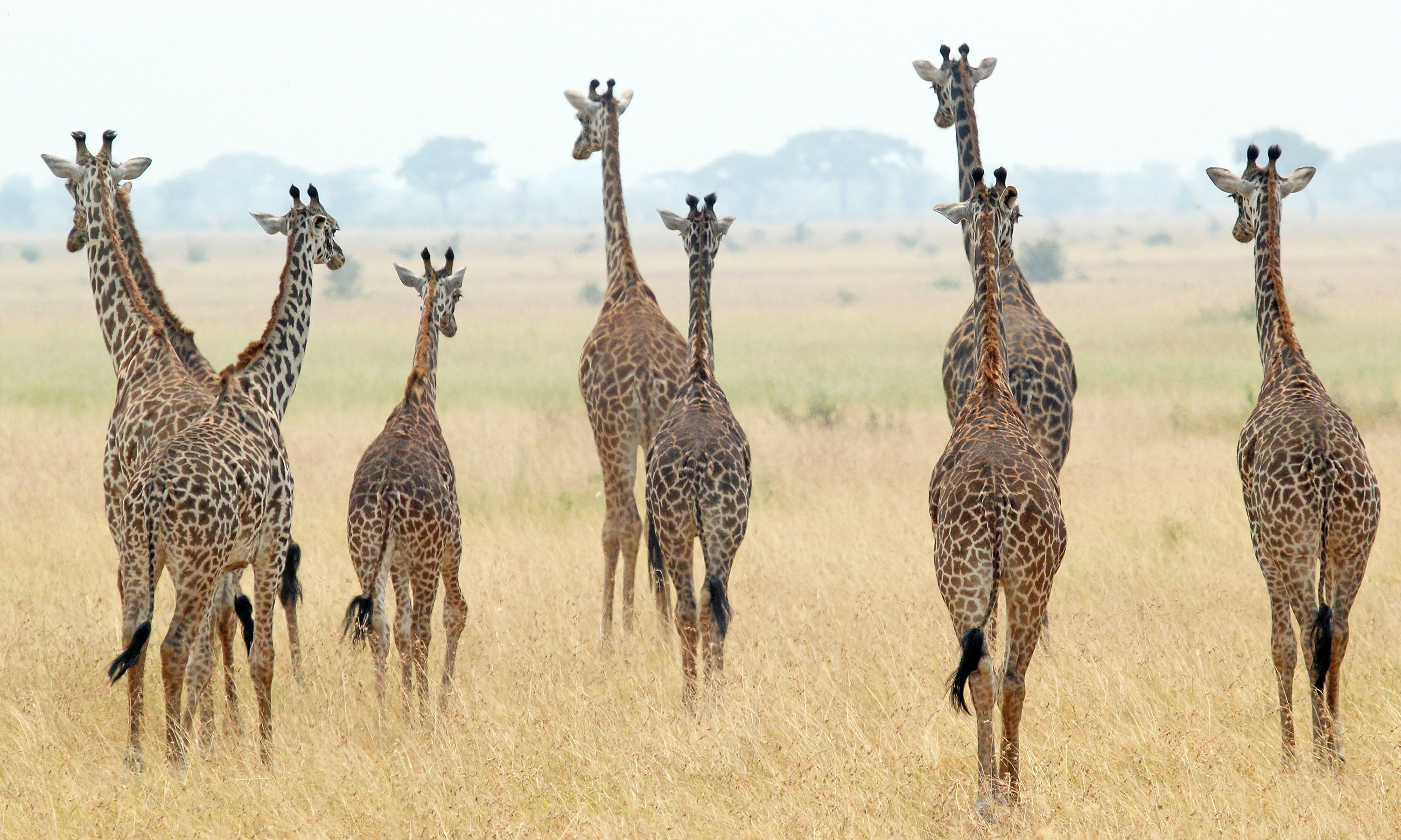 Giraffes in the Serengeti (Shutterstock)