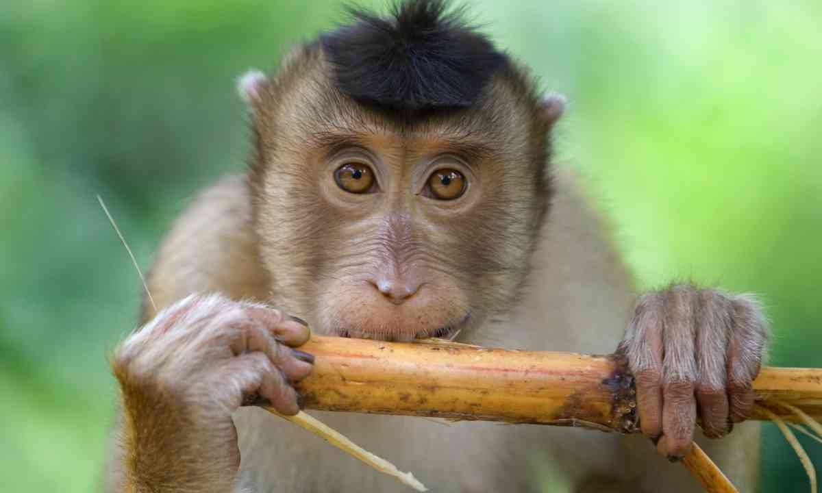 Macaque monkey chewing on sugar cane in Malaysia (Dreamstime)