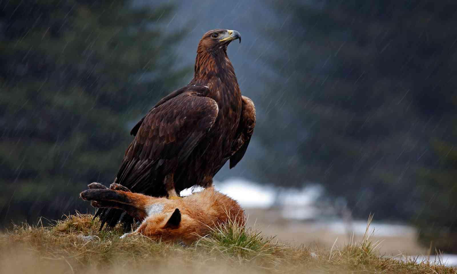 Golden Eagle feeding on a fox in Sweden (Dreamstime)