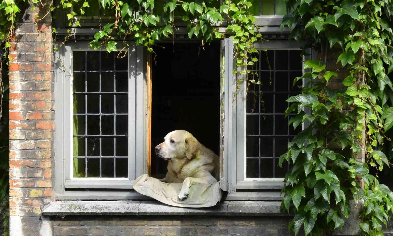 Fidel relaxing in window in Bruges (Dreamstime)