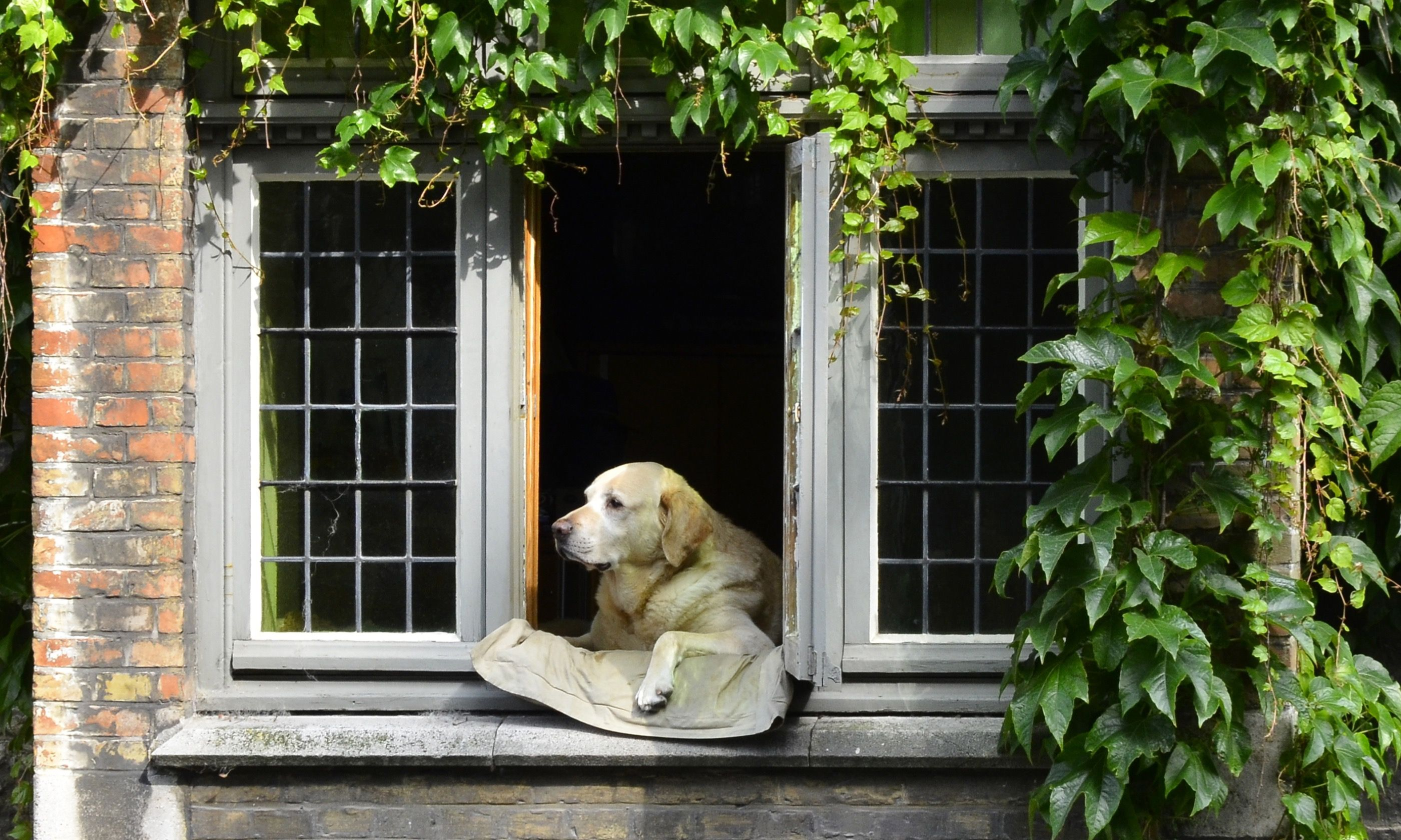 Fidel relaxing in window in Bruges (Dreamstime)