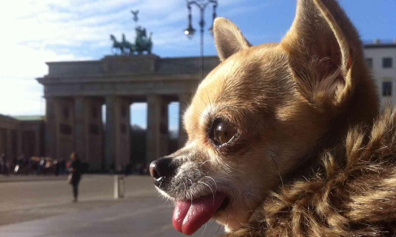 Chihuahua at Brandenburg Gate (Dreamstime)