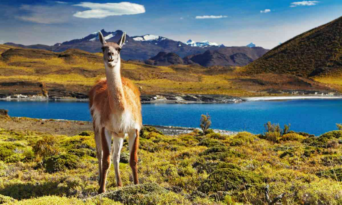 Guanaco in Torres del Paine National Park (Shutterstock)