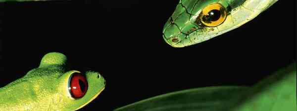 Red-eyed treefrog faces its predator (Christian Ziegler and Daisy Dent)
