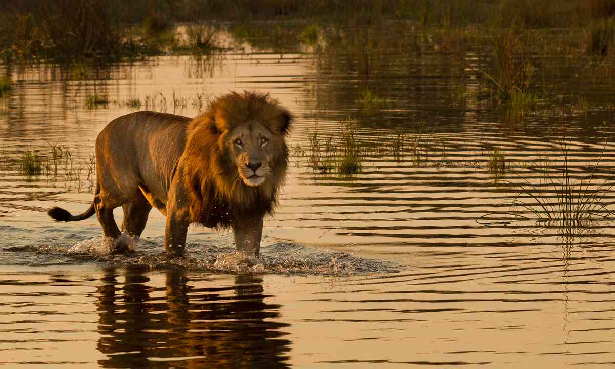 Lion on the Delta (Shutterstock.com)
