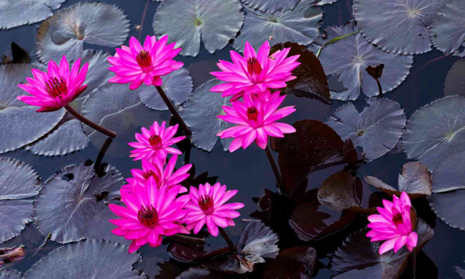 Pink lillies (Dreamstime)