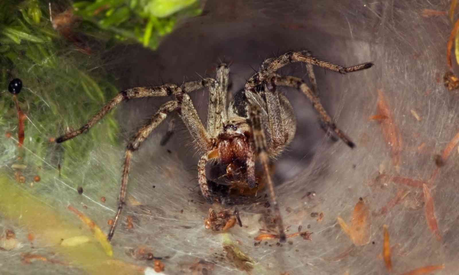 A Funnel Web Spider (Dreamstime)