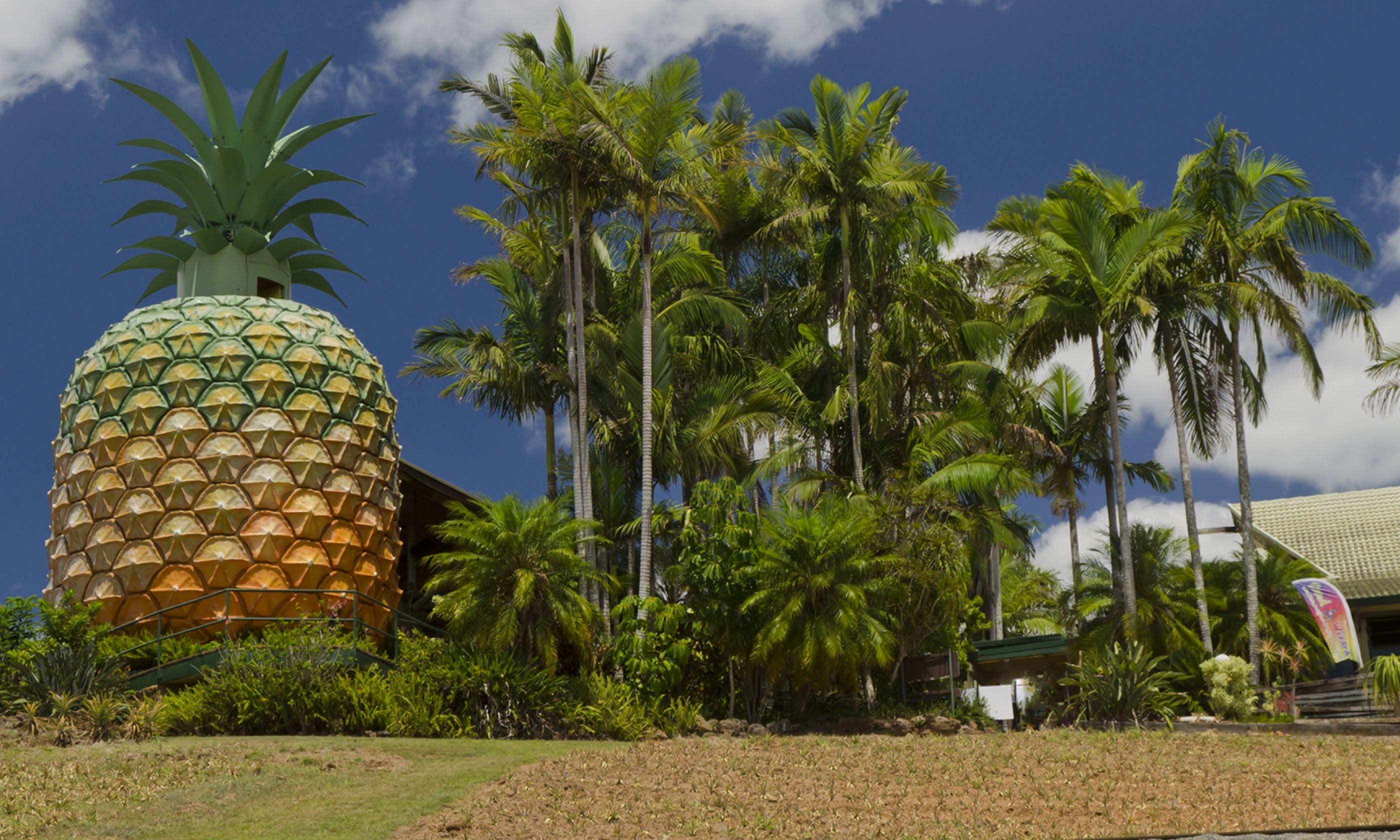 A slightly over-sized pineapple near Nambour (Dreamstime)