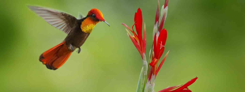 Red and yellow Ruby-Topaz Hummingbird (Shutterstock)
