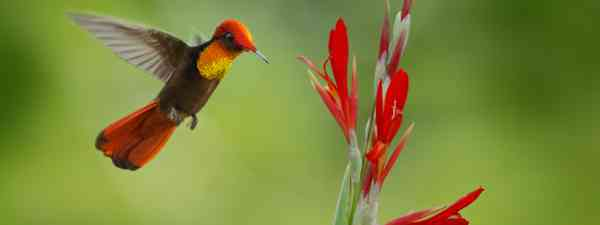 Red and yellow Ruby-Topaz Hummingbird (Shutterstock)