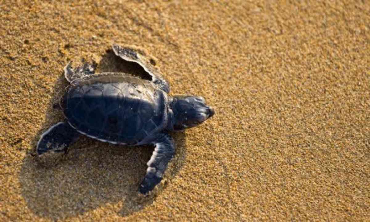 Turtle on beach (Dreamtime)