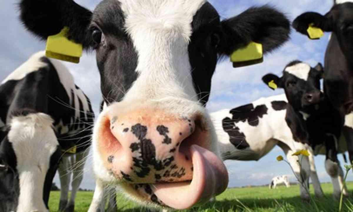 Cow licking nose (Shutterstock.com)