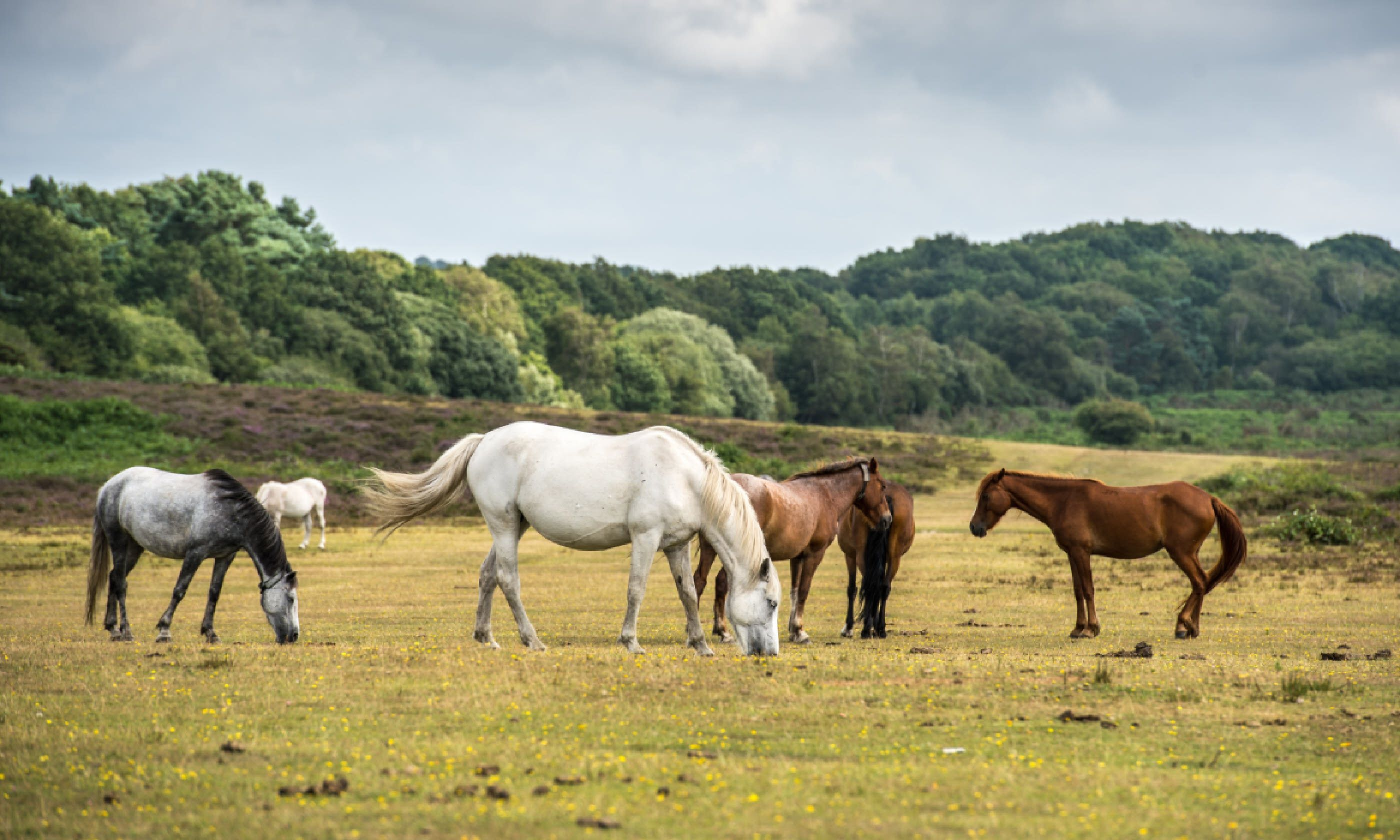 Ponies in New Forest (Shutterstock)