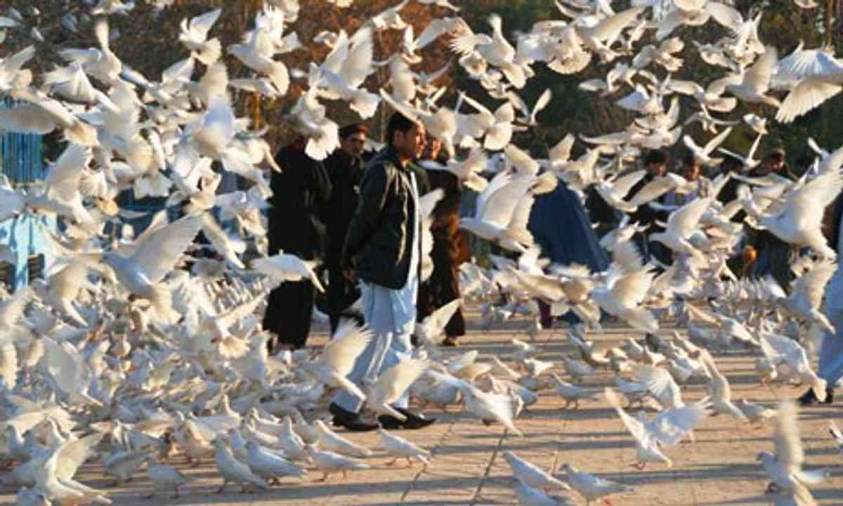 Afghanistan pigeons (Charlie Walker)