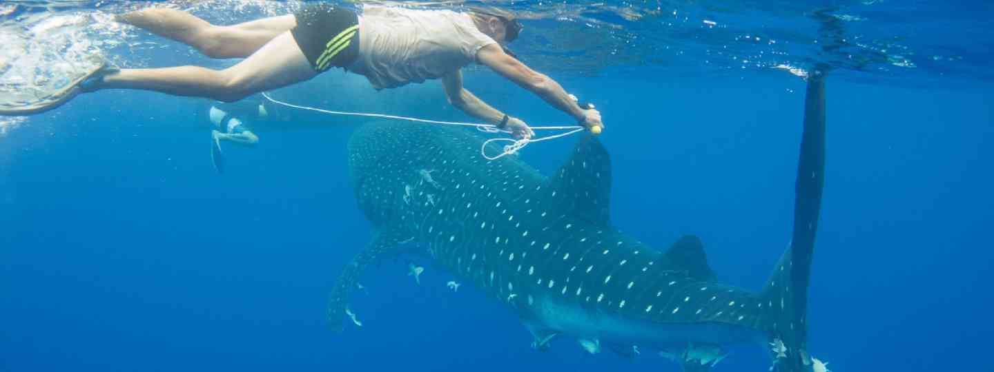 Swimming with whale sharks in St Helena
