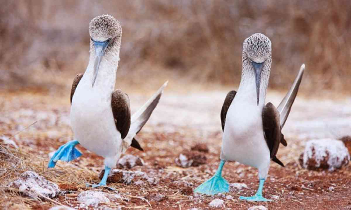 Blue footed boobies (Shutterstock.com)