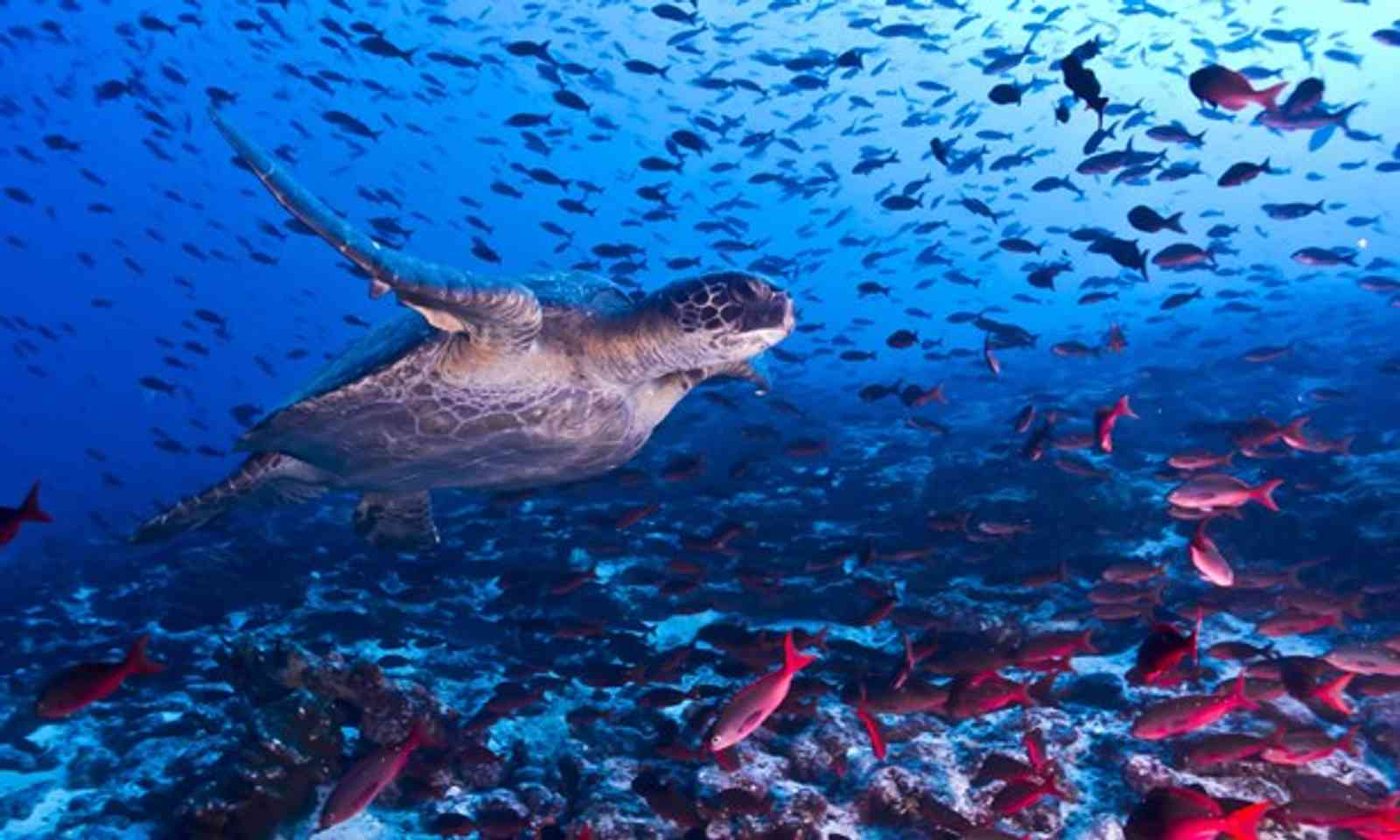 Turtle and fish in Galapagos (Shutterstock.com)
