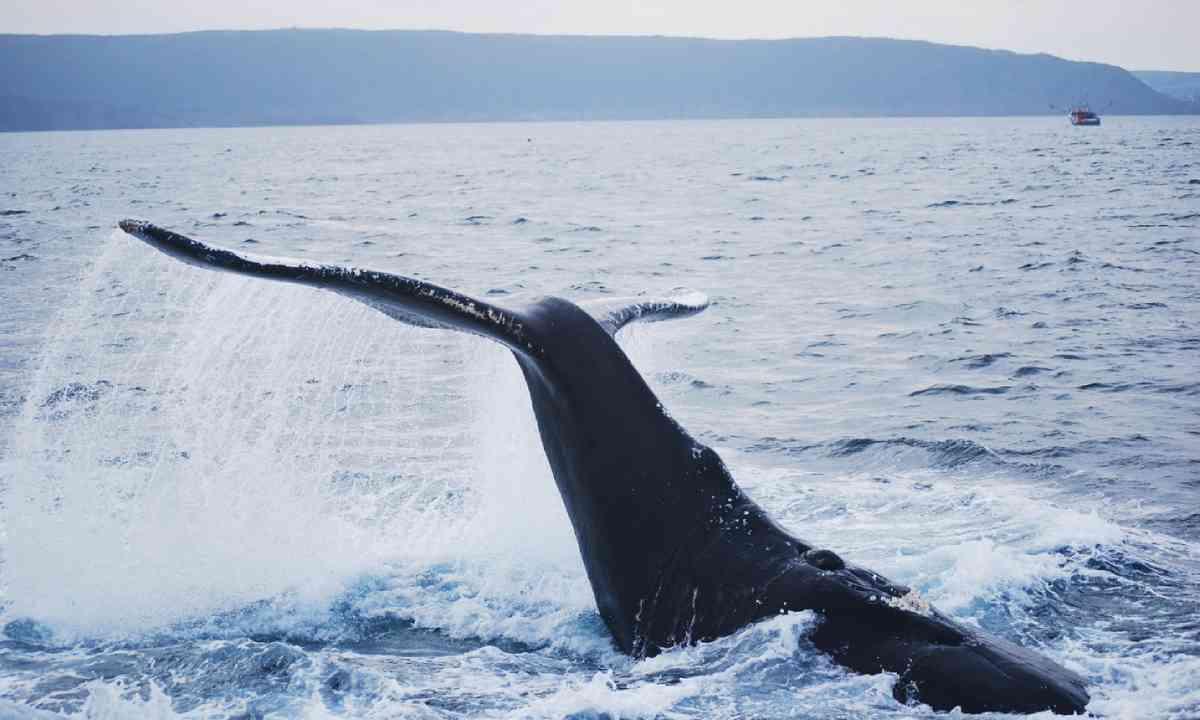 Humpback whale in Newfoundland – at last! (Shutterstock)