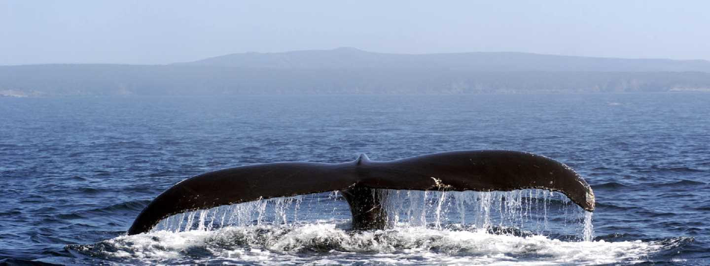 Humpback whale, Newfoundland (Shutterstock)