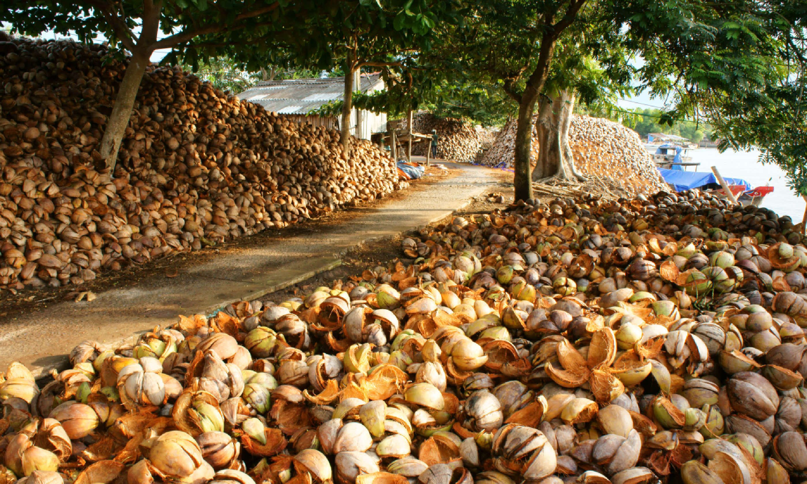 Ben Tre coconuts (Shutterstock)