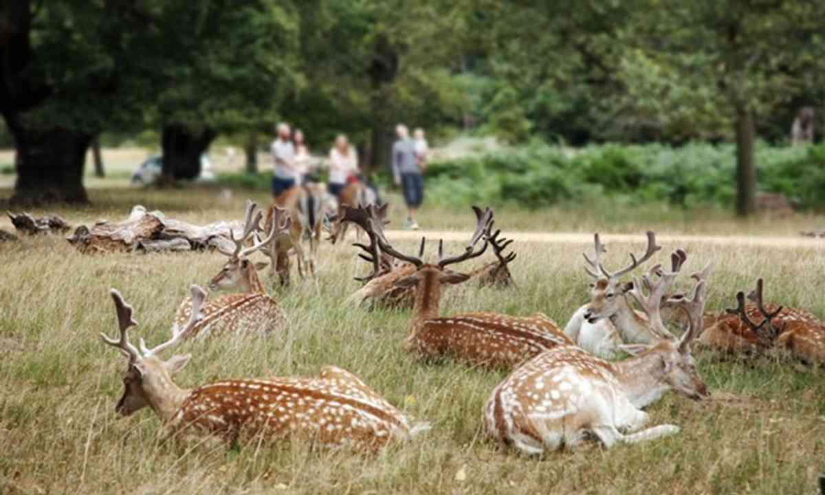 Deer in Richmond Park (Shutterstock.com)