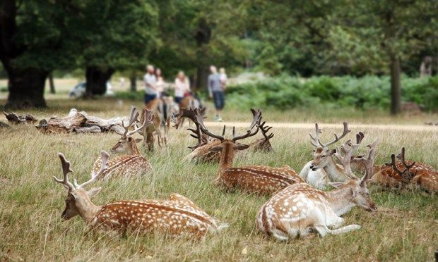 Deer in Richmond Park (Shutterstock.com)