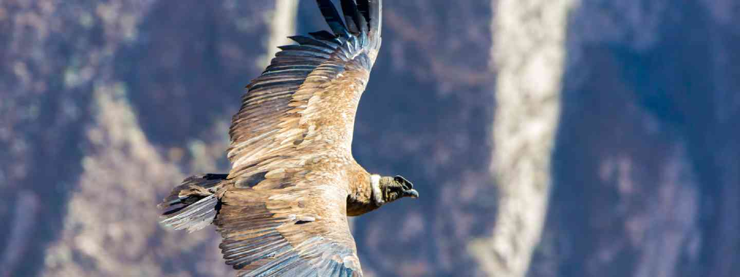 Flying condor over Colca Canyon (Shutterstock)