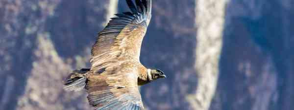 Flying condor over Colca Canyon (Shutterstock)