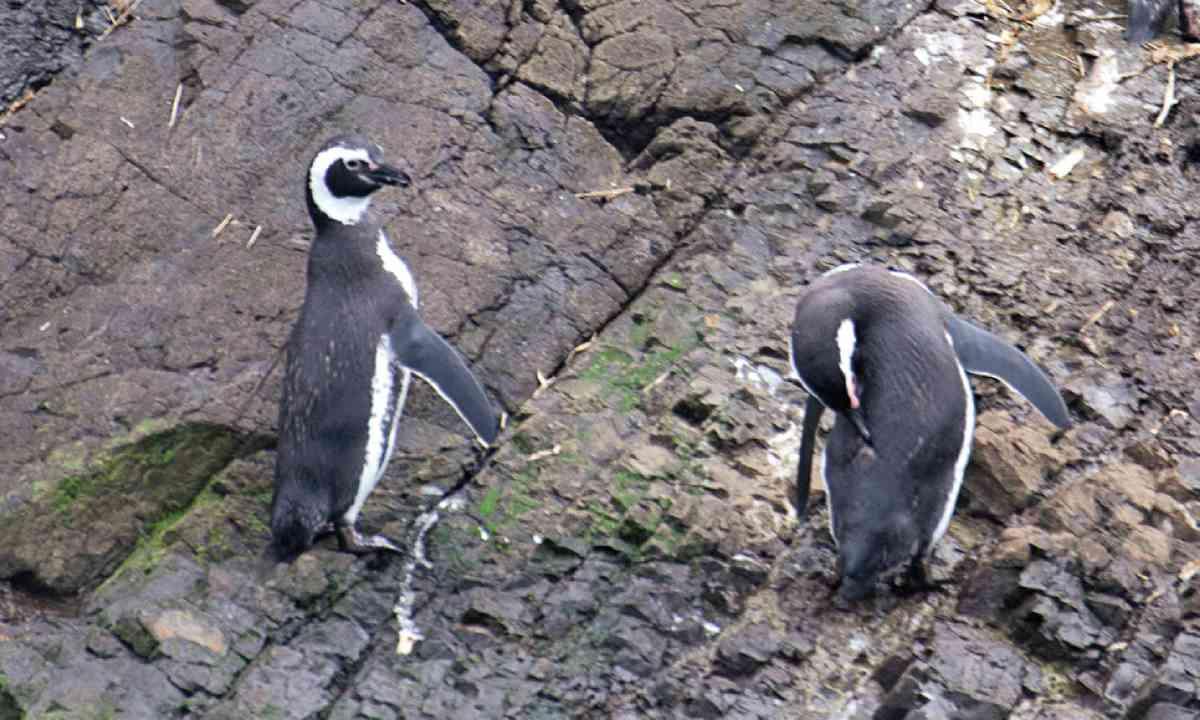 Penguins at Puñihuil Natural Monument (Lyn Hughes)