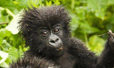 Mountain gorilla, Rwanda (Shutterstock.com)
