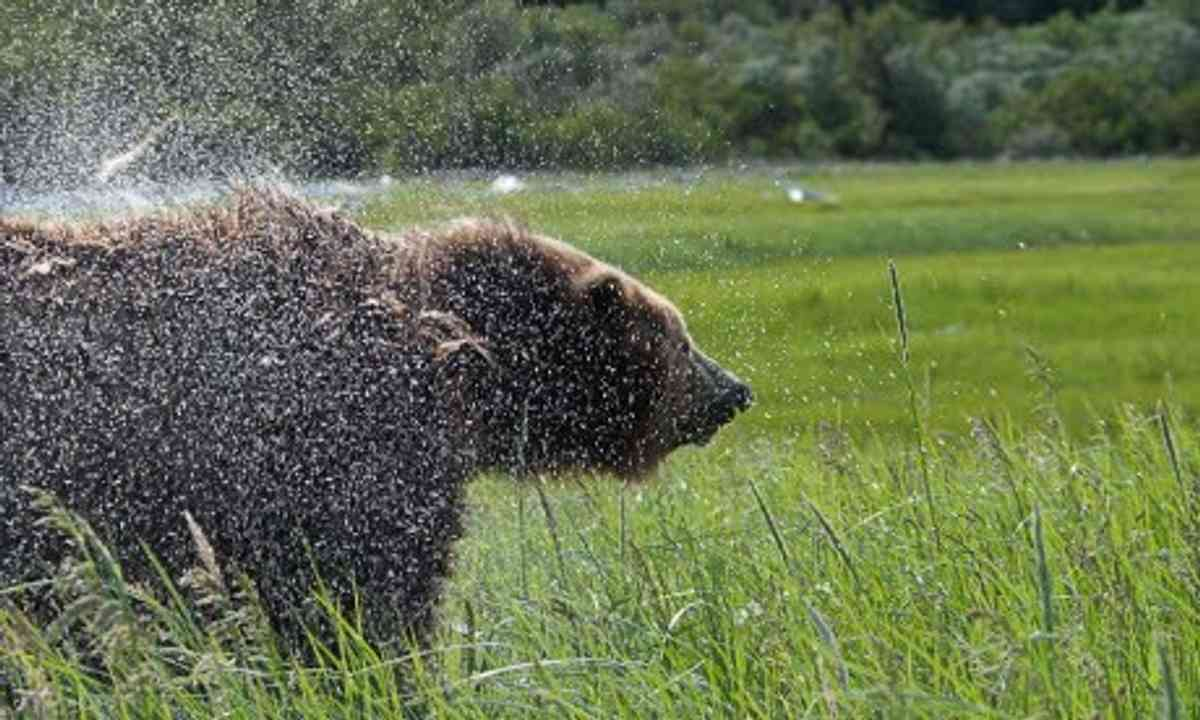 Brown bear, Alaska (Simon Chubb)