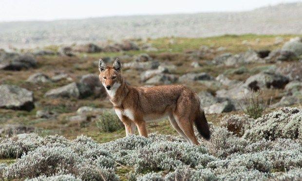 Simien wolf (Shutterstock.com)