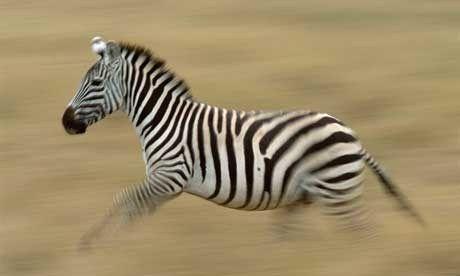 Running zebra (Steve Davey)