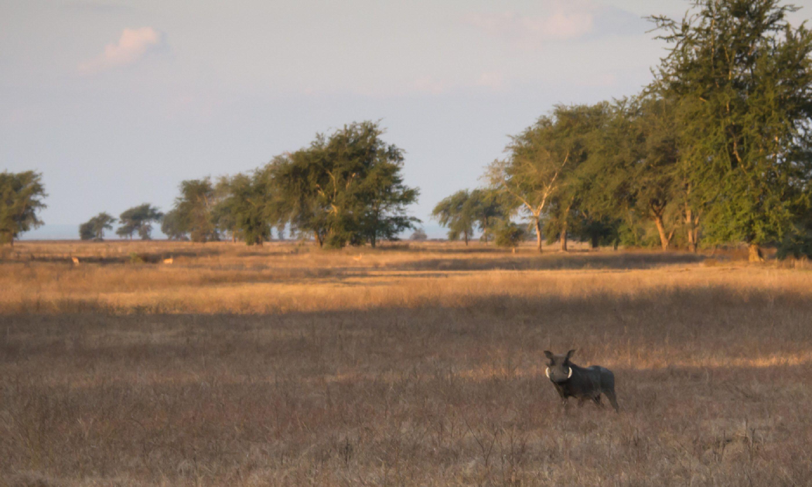 Warthog in Gorongosa (Dreamtime)