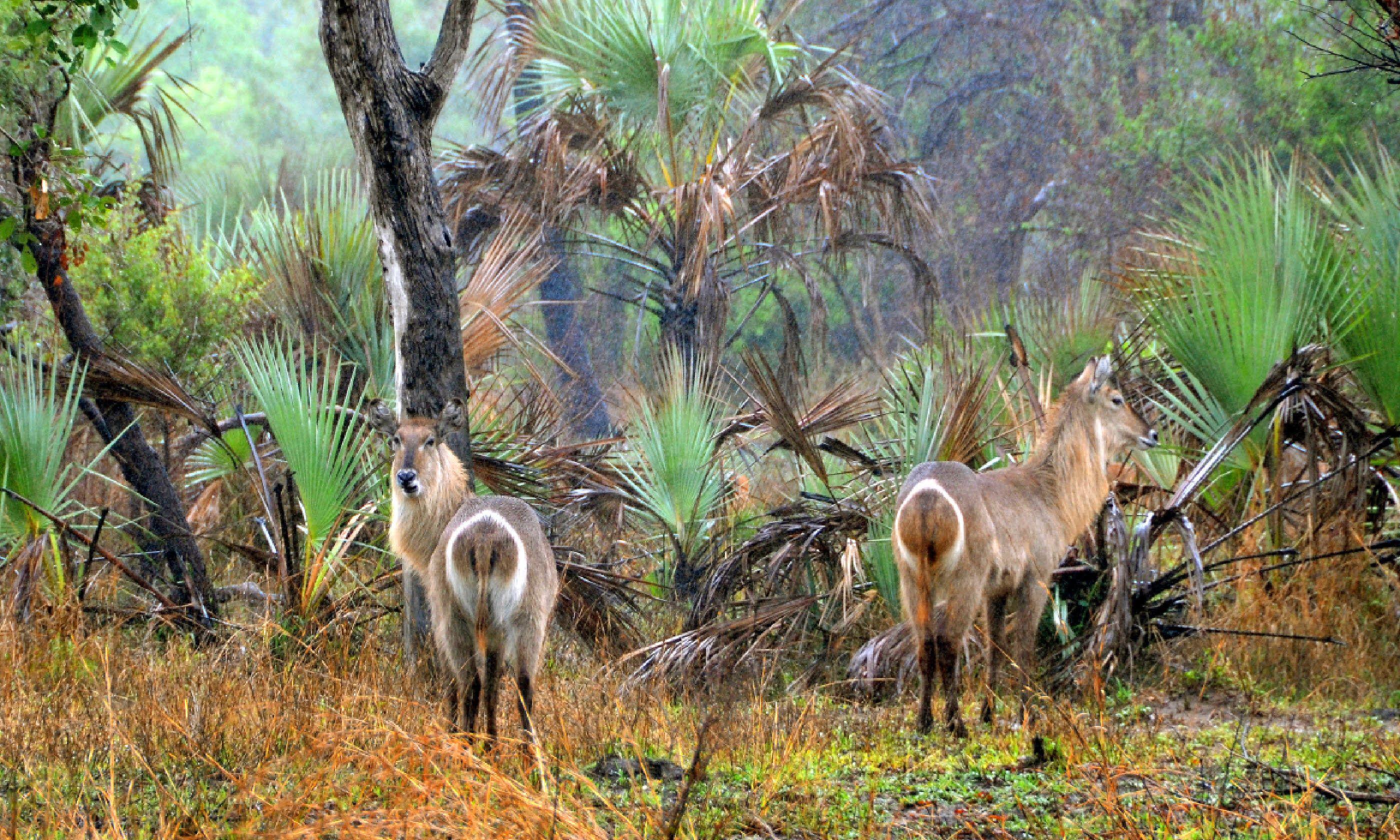 Waterbucks in Gorongosa (Shutterstock)