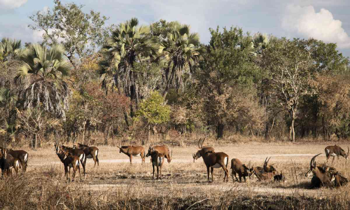 Waterbuck in Gorongosa (Dreamstime)
