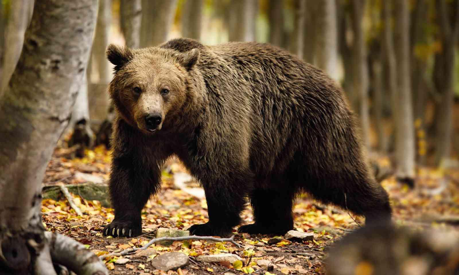 Bear at Arcturos sanctuary (Nikos Kanellopoulos / Arcturos)