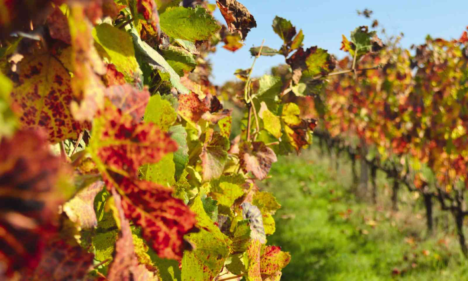 Vineyard at Alpha Wine Estate (Sarah Baxter)