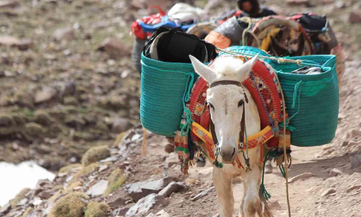 Mule in the Atlas mountains (Shutterstock)