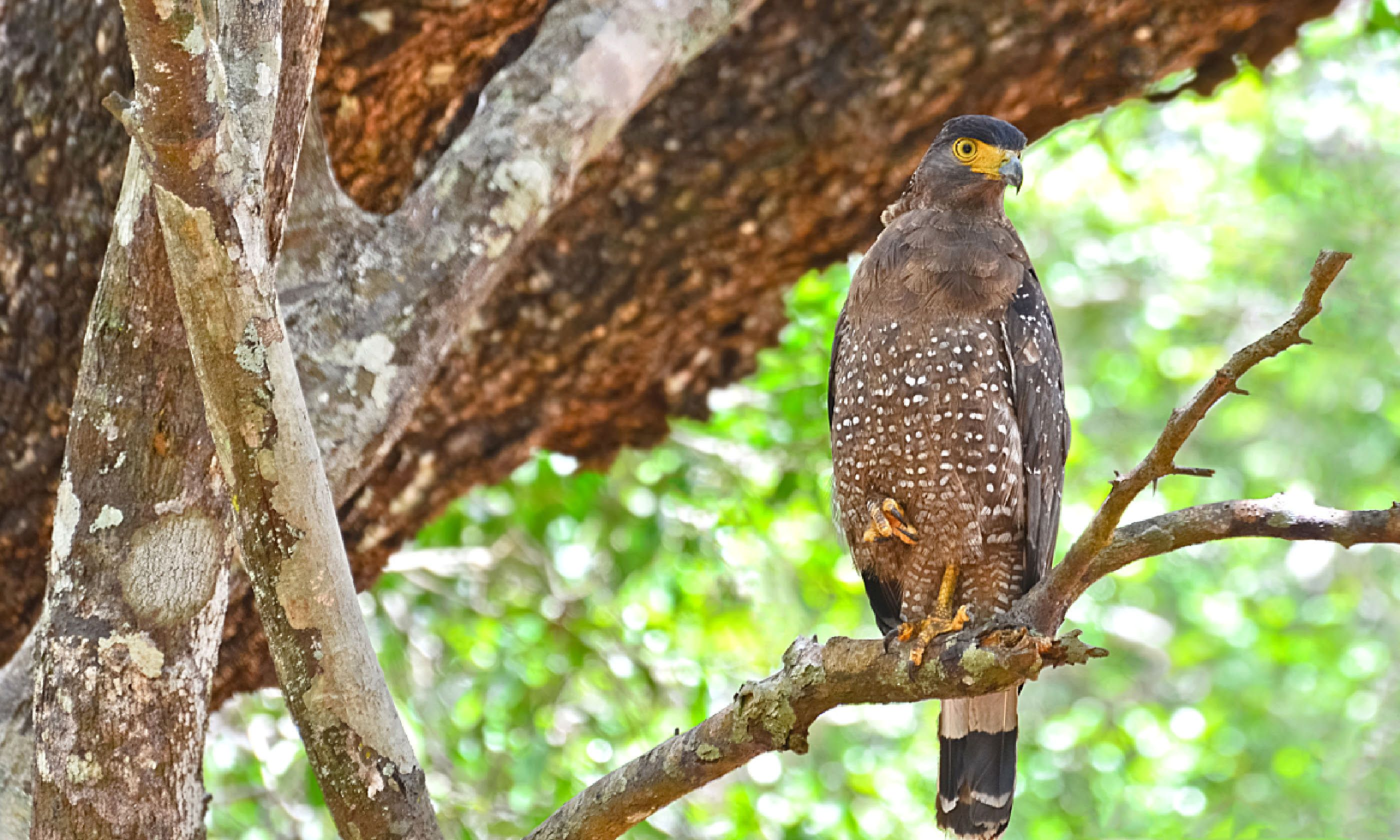 Crested serpent eagle, Wilpattu National Park (Shutterstock)