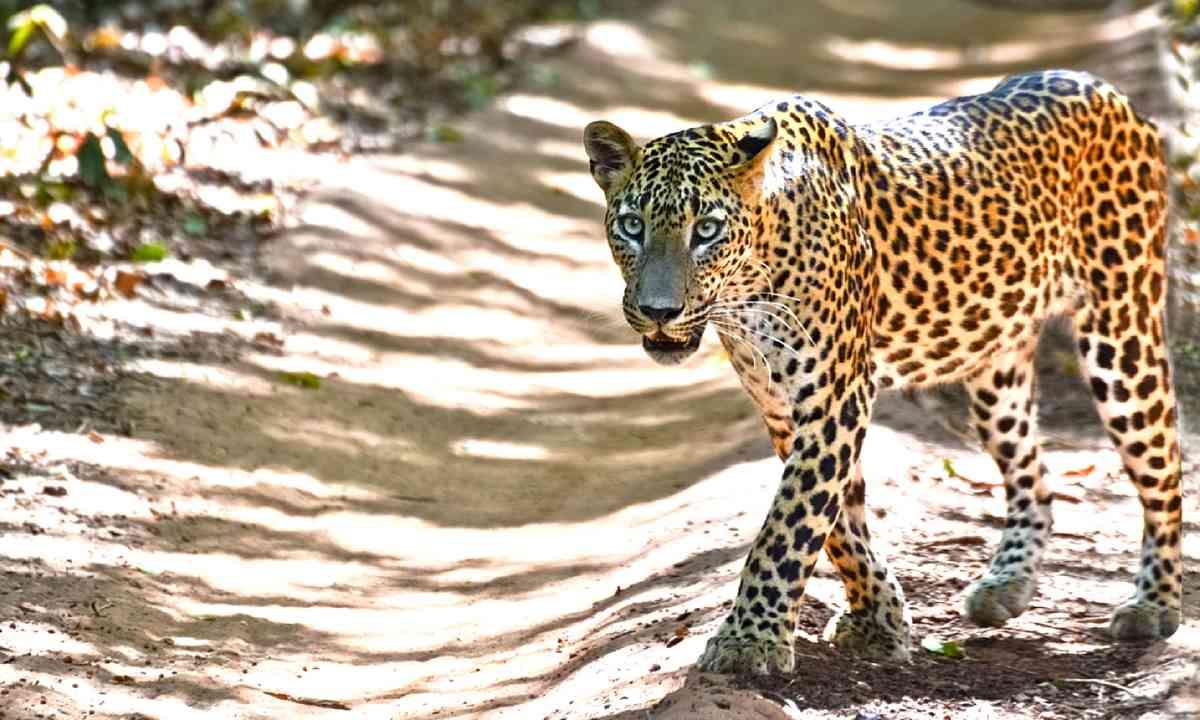 Leopard in Wilpattu National Park (Dreamstime)